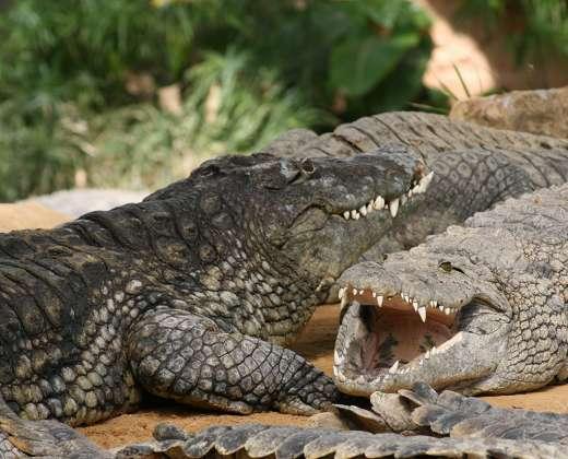 Prancūzija. Krokodilų ferma.