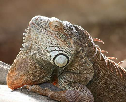 Prancūzija. Iguana krokodilų fermoje