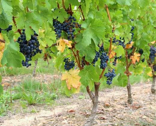 Prancūzija. Luaros slėnio vynuogynas