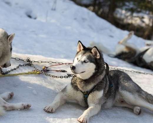 Laplandija. Šunų ferma