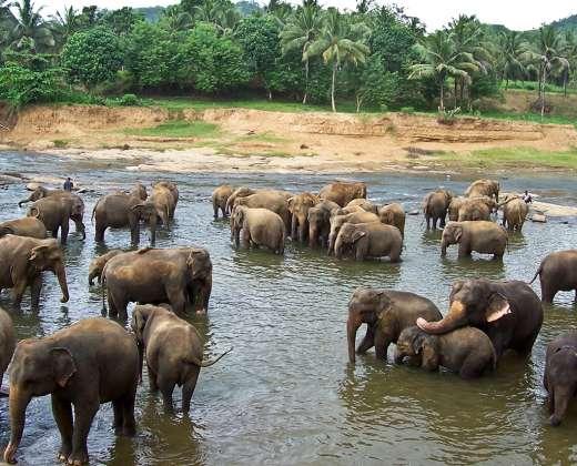 Šri Lanka. Pinavalos drambliukų prieglauda